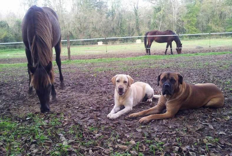 cohabitation-chiens-chevaux