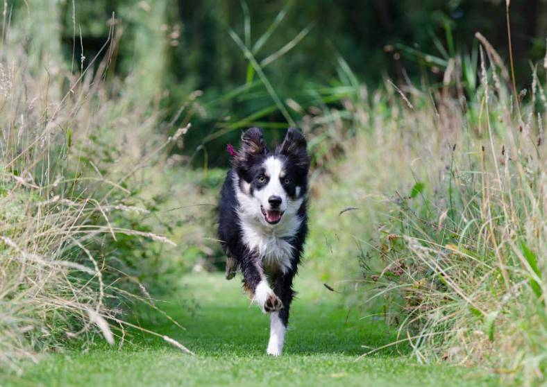les-chiens-de-race-border-collie