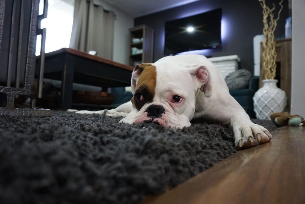 bulldog sur canapé