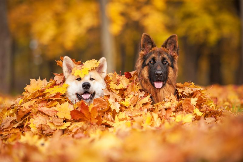 automne berger allemand akita americain feuilles