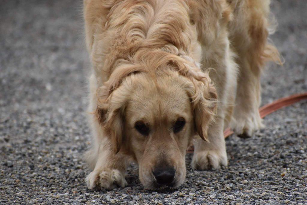laisser renifler son chien pendant la balade