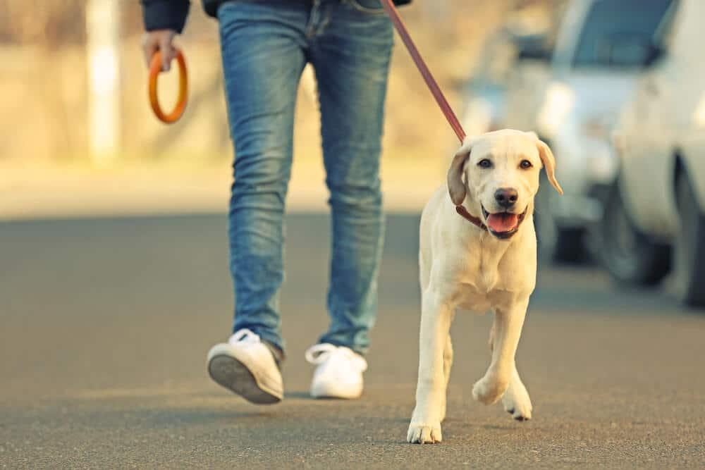 comment ruiner la balade de son chien