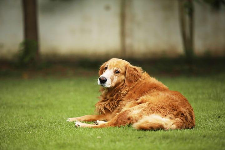 obésité chez le chien,obésité morbide chez le chien,surpoids chez le chien
