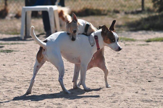 mon chien chevauche les autres chiens,mon chien monte les autres chiens,mon chien saillit les autres,mon chien chevauche ma jambe,chien problème de chevauchement,mon chien monte ma chienne,mon chien monte les mâles