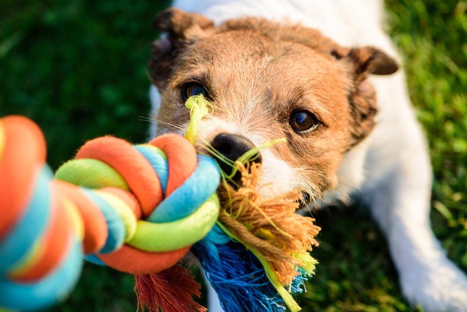 jouer au tug avec son chien,tug,tuguer,mon chien aime tirer la corde,mon chien tug,des tugs,jouets pour chien,choisir un jouet pour son chien,plusieurs jouets pour chien,tug chien polaire,tug chien diy,tug chien agility,tug chien fourrure,tug chien fait maison,tug chien kong,chien thug life,tug pour chien,laisse tug chien,mon chien joue,mon chien joue tout seul,mon chien joue sur moi,mon chien joue avec sa laisse,mon chien joue avec la nourriture,mon chien joue en mordant,remorqueur chien,mon chien joue au remorqueur