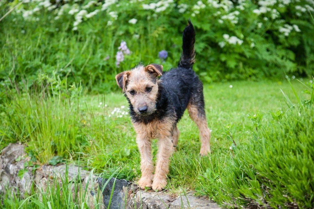 lakeland terrier 908689 1280